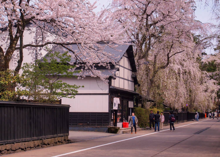 ② Weeping Cherry Trees in Kakunodate Samurai District (Akita Prefecture)