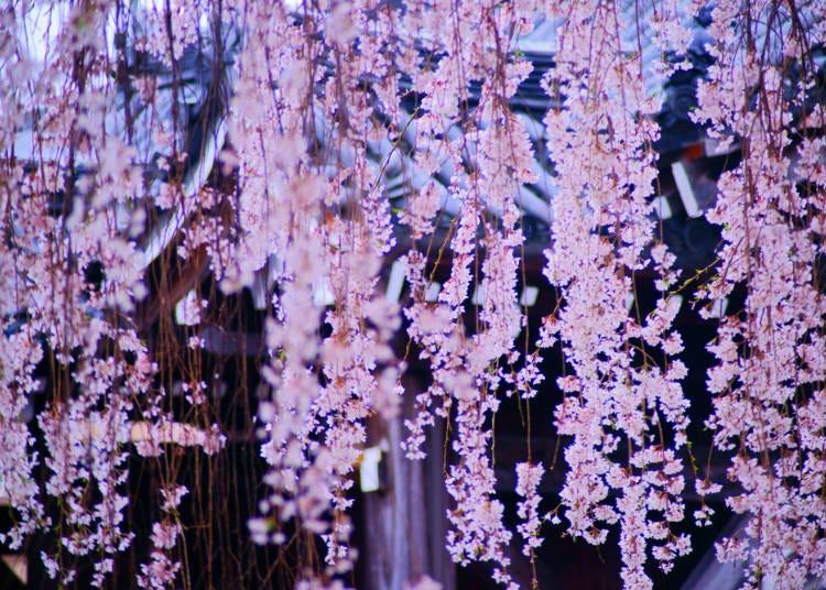 1.しだれ桜はどんな特徴があるの?