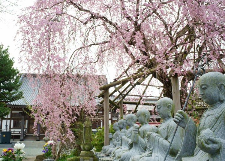 2.しだれ桜の開花時期と見頃