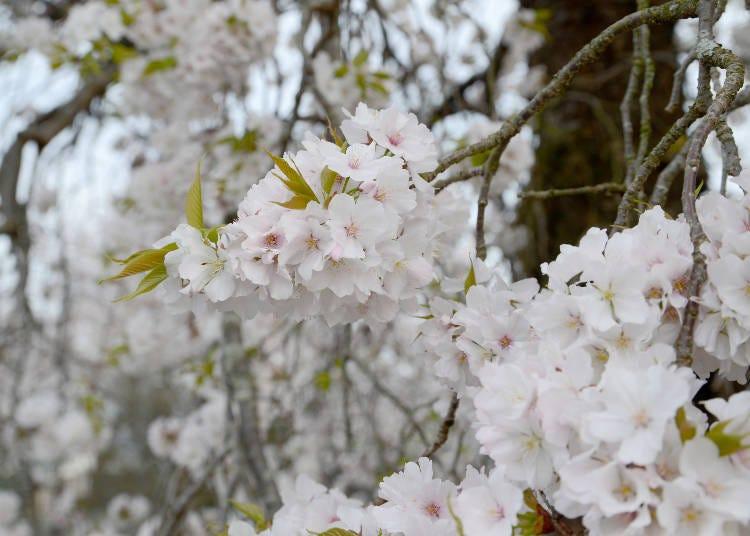 ④枝垂山桜(シダレヤマザクラ)