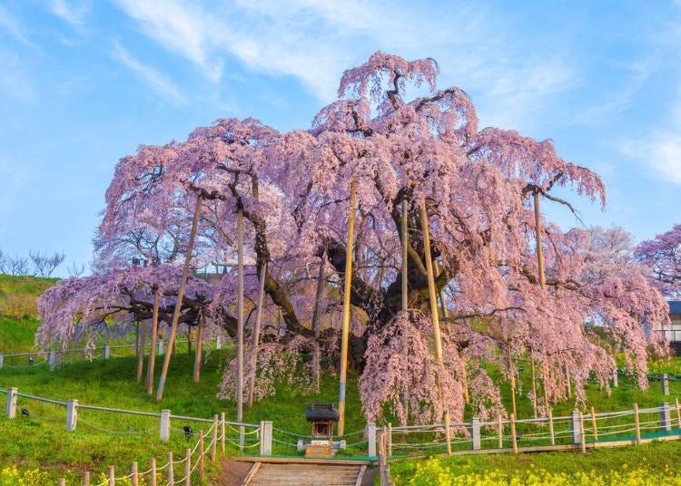 ①三春滝桜(みはるたきざくら/福島県)