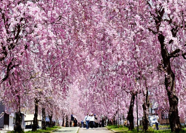 ③日中線(にっちゅうせん)しだれ桜並木(福島県)
