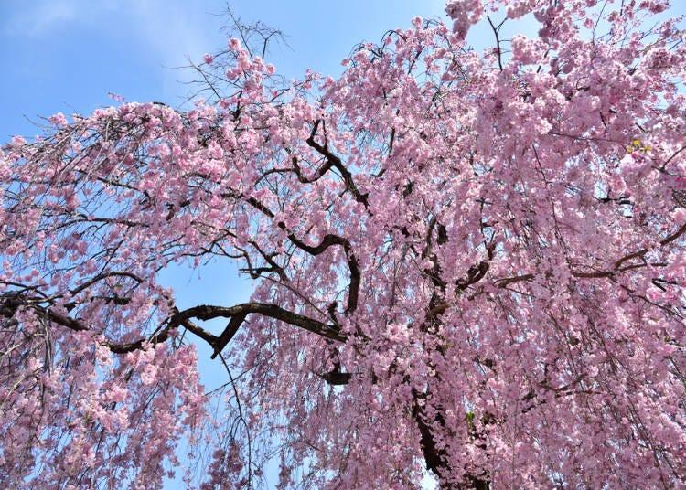 ⑤関場(せきば)の枝垂桜(栃木県)