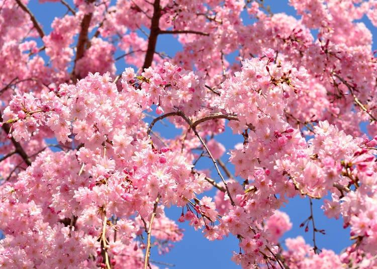①야에베니시다레 (수양홍겹벚나무)