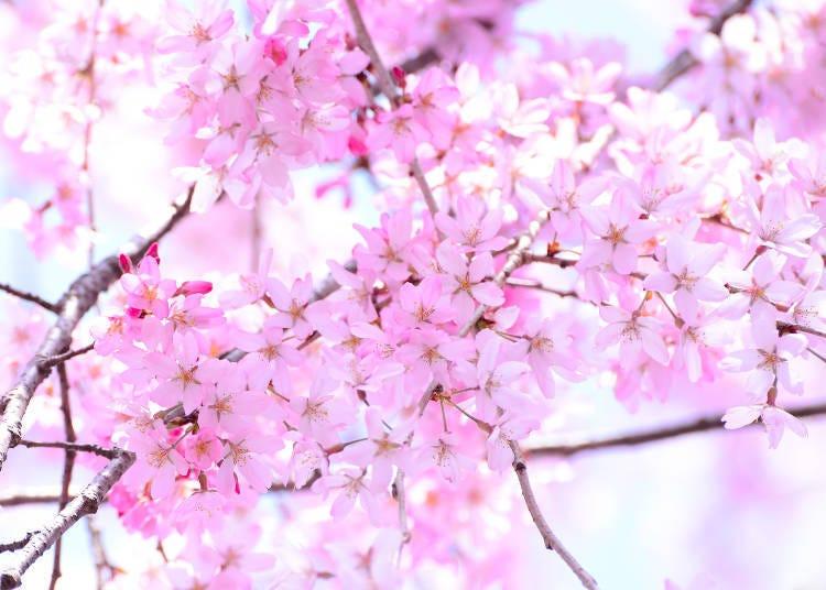 ③베니시다레 (홍수양벚나무, 홍사앵)