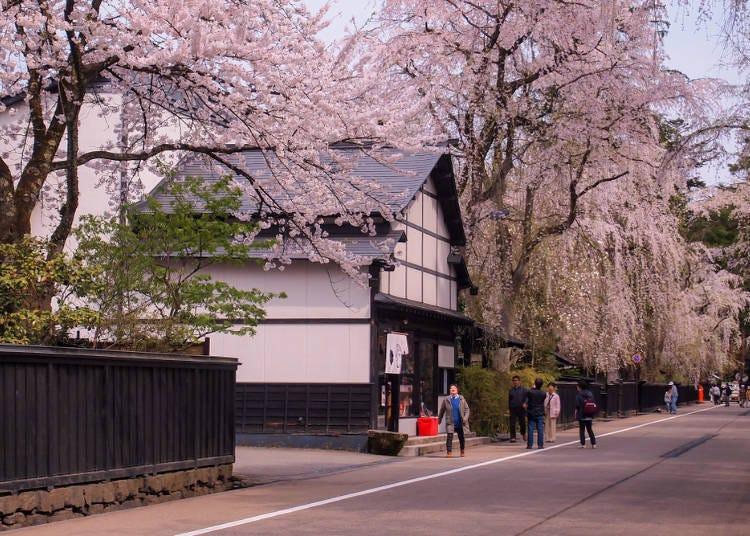 ②가쿠노다테 부케야시키 거리의 시다레자쿠라 (아키타현)