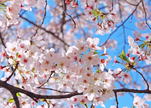 Japan's Most Famous Sakura Tree: What Kind of Flowers Are Somei-Yoshino Cherry Blossoms?