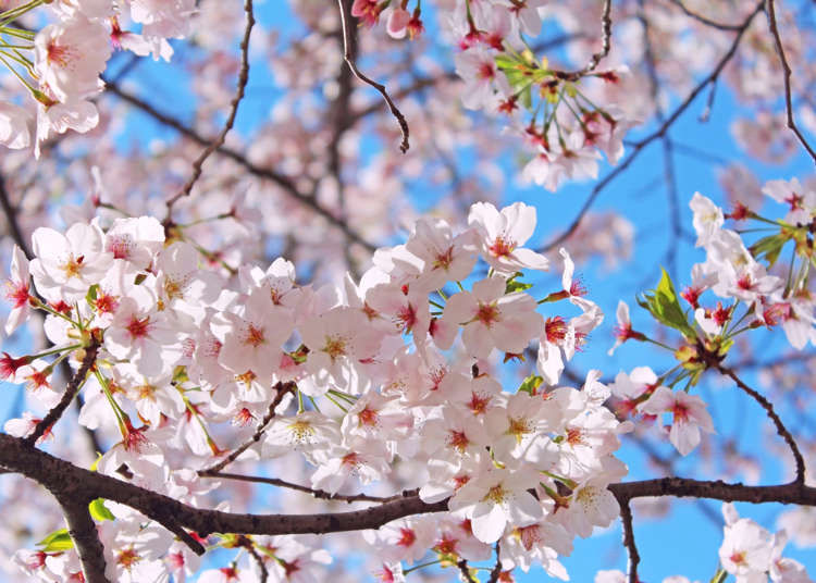 Japan S Most Famous Sakura Tree What Kind Of Flowers Are Somei Yoshino Cherry Blossoms Live Japan Travel Guide