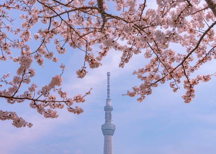 2.染井吉野樱的开花期与最佳观赏期