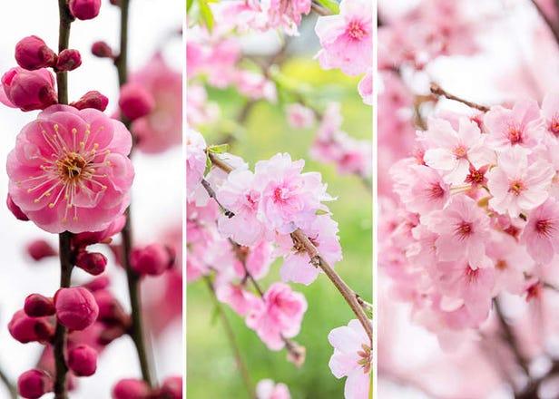 매화, 복사꽃, 벚꽃, 봄을 알리는 세 꽃의 차이점과 구별법 완벽해설