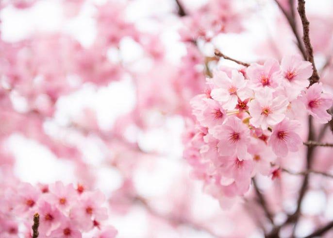 桜 違い 梅 もう迷わない!桜と梅の違いが分かる簡単な見分け方!教授します