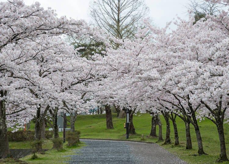 3. Tsuruoka Cherry Blossom Festival (Tsuruoka City, Yamagata Prefecture)
