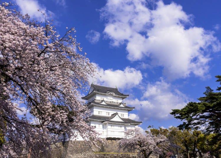 ⑥오다와라 사쿠라 마츠리 (가나가와현 오다와라시)