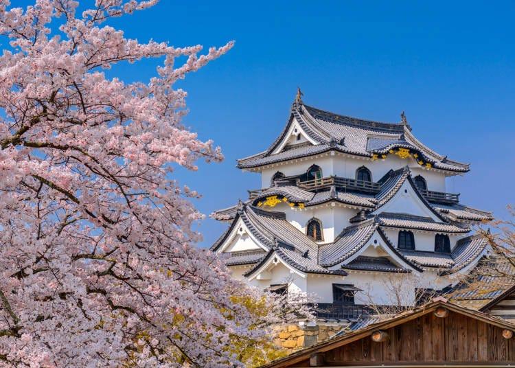 ⑦히코네 성 사쿠라 마츠리 (시가현 히코네시)
