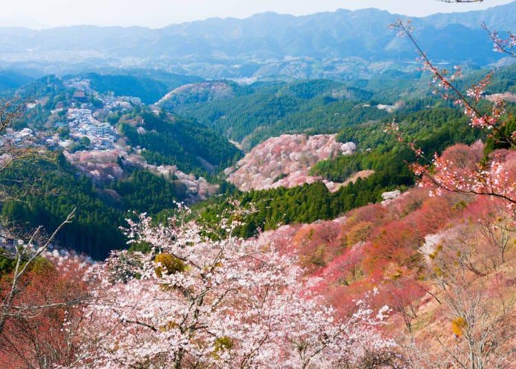 ⑧요시노 산의 사쿠라 마쓰리 (나라현 요시노군)