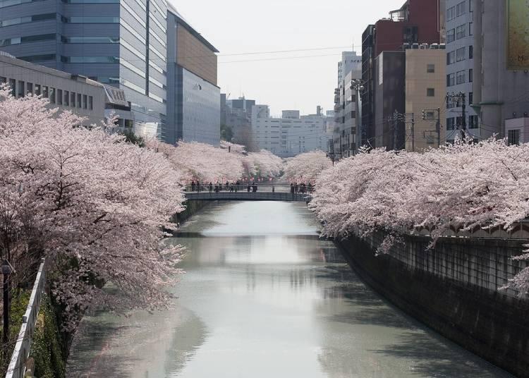 3. 全長約4キロメートルにも及ぶ桜の街道を歩く。目黒川へのアクセスも便利な「ホテルミッドイン目黒駅前」