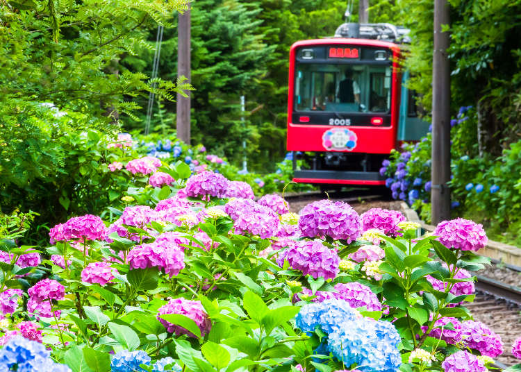 5 Magnificent Hydrangea Gardens Near Tokyo: When to Go and What to Do!