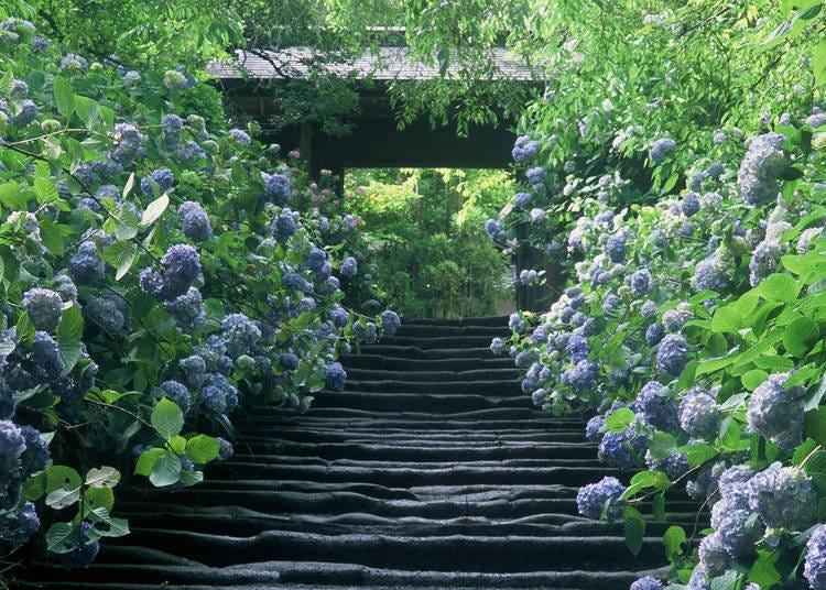 2. Meigetsuin: Charming Blue Hydrangeas! (Kita-Kamakura)