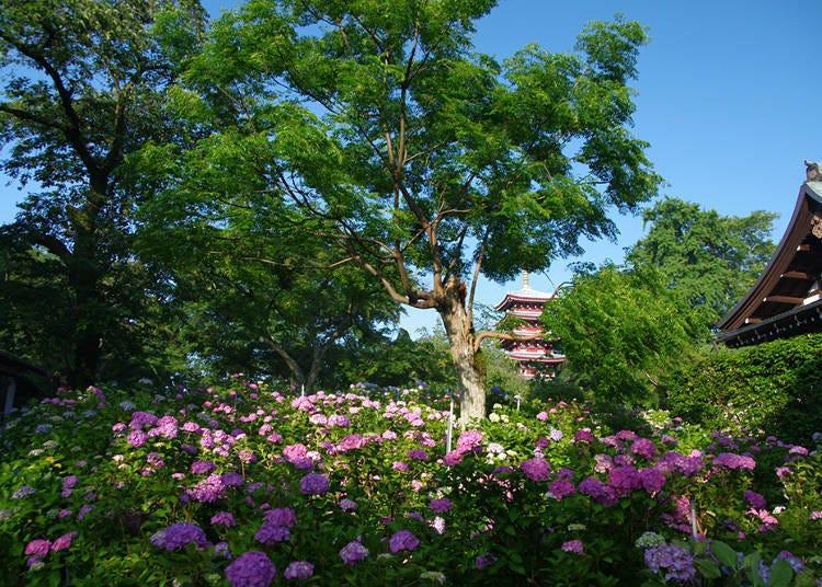 4. Hondoji Temple: Colorful Hydrangeas with a 5-story Pagoda (Matsudo)