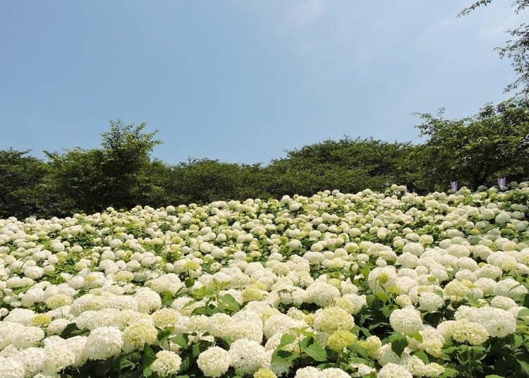 【權現堂公園】100種繡球花品種、16000株的百花撩亂