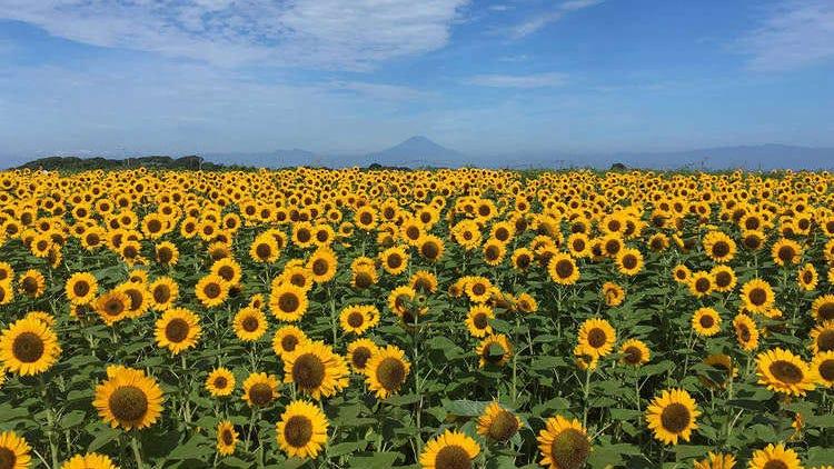 5 Best Sunflower Fields Near Tokyo: Spectacular Scenic Views in Tokyo, Kanagawa, and Chiba (2021 Edition)