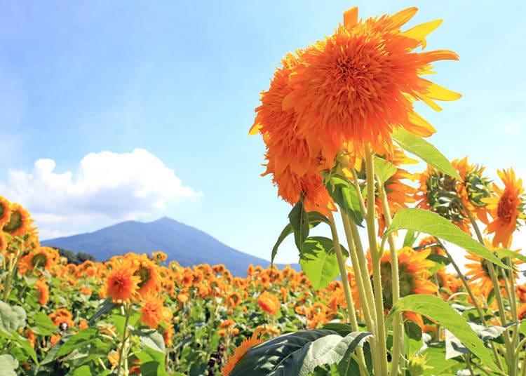 3. Akeno Sunflower Festival: A Glorious Sea of One Million Sunflowers