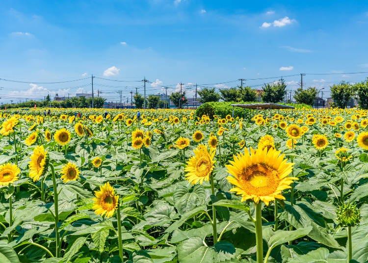 1.都内最大級のひまわり畑!武蔵村山からきゅんです♡【ひまわりガーデン武蔵村山】