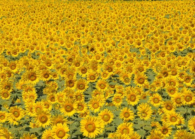 2.田園の中に55万本のひまわりが絵のように美しく咲く【座間市ひまわりまつり】