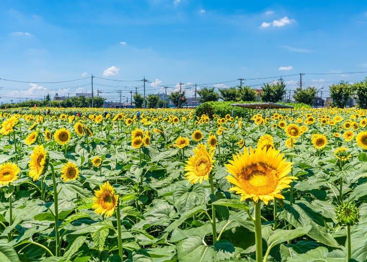 1. 도쿄 도내 최대 규모의 해바라기 밭! 무사시무라야마에 심쿵하다?!♡ [해바라기 가든 무사시무라야마]