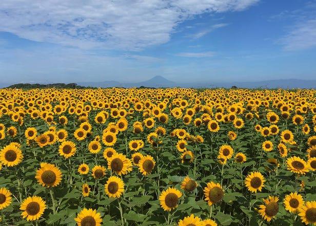 太阳花与大海、富士山的绝赞美景!东京、神奈川、千叶推荐向日葵花田5选【2021】