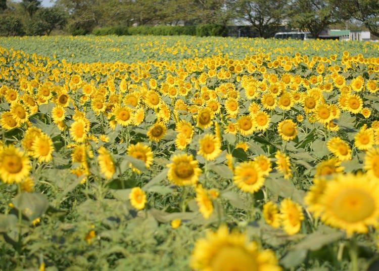 5.穿梭在浪漫的夜间向日葵迷宫中~成田梦牧场