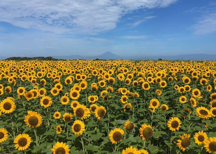 4.大海&藍天與向日葵的清爽風景~長井海之手公園 Le Soleil之丘