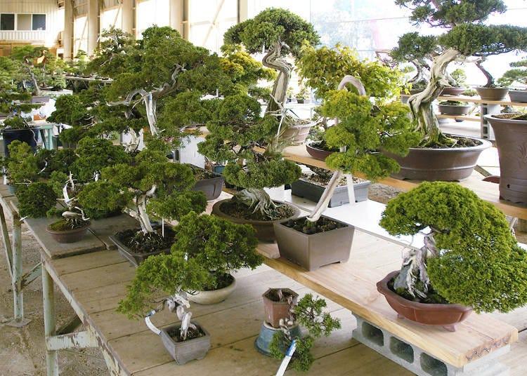 香川県鬼無植木盆栽センター市場