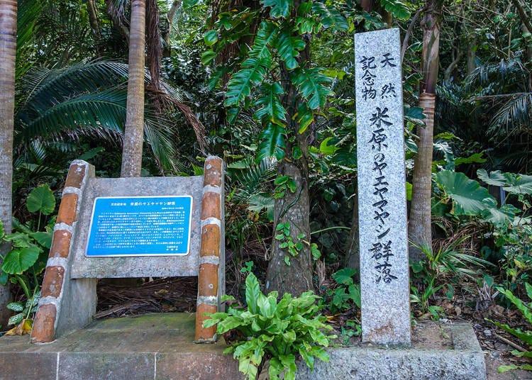8.八重山棕梠樹林