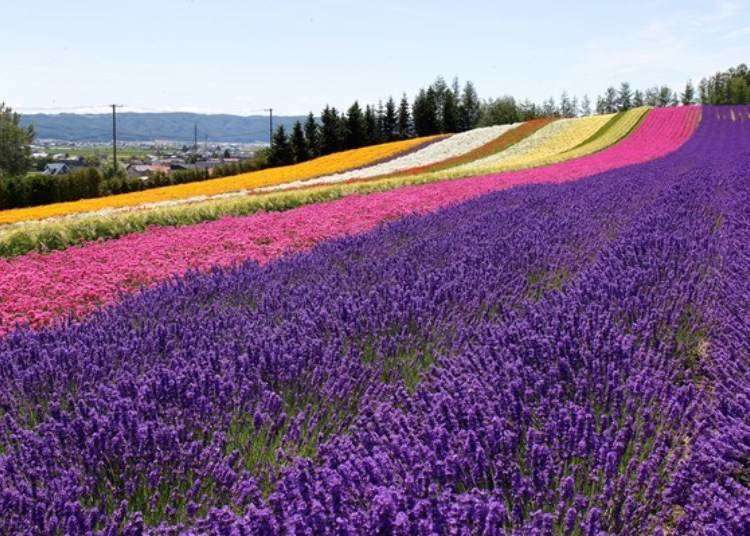 Hokkaido Lavender Fields: Top 6 Furano Spots to See Japan's Fields of Purple