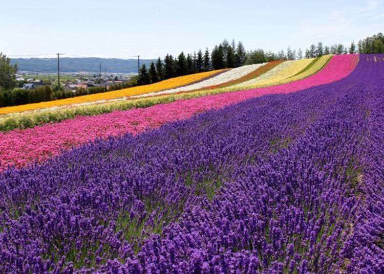 Hokkaido Lavender Fields: 6 Best Places in Furano to See Japan's Dreamiest Purple Meadows