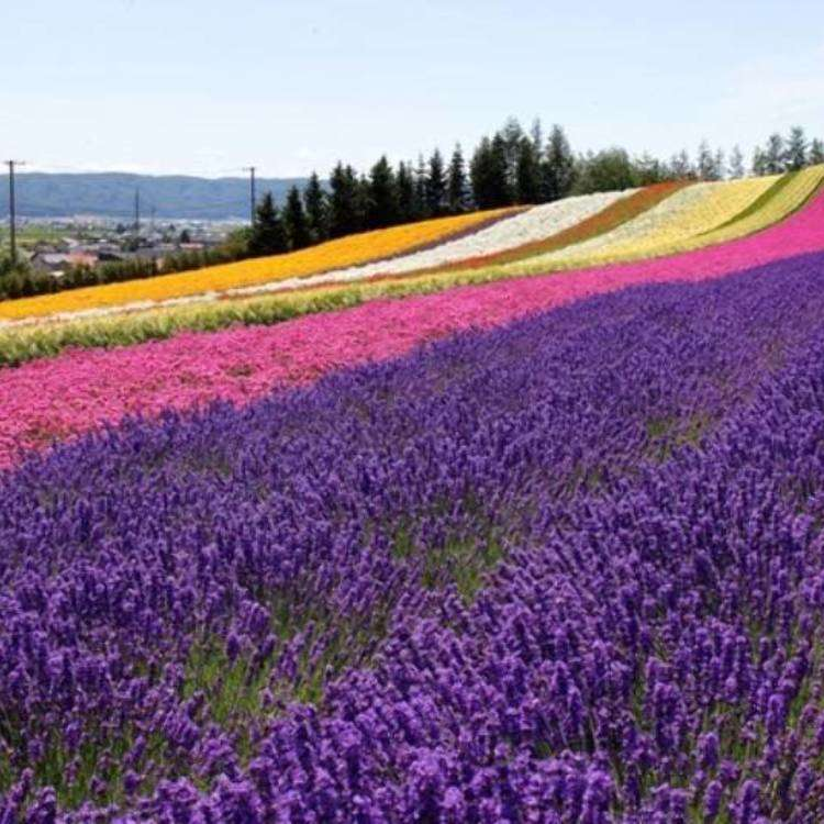 Hokkaido Summer Guide: Best 6 Lavender Fields of Furano! (Farm Tomita & More!)