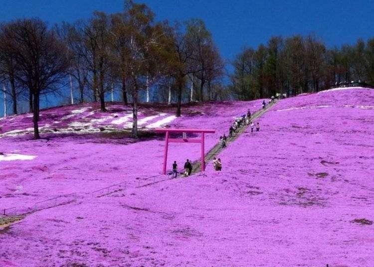 아바시리 여행 - 히가시모코토 시바자쿠라 공원의 꽃축제와 온천 족욕!