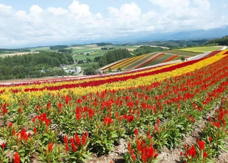 在宽阔的丘陵欣赏七彩缤纷的花海 「展望花田 四季彩之丘」
