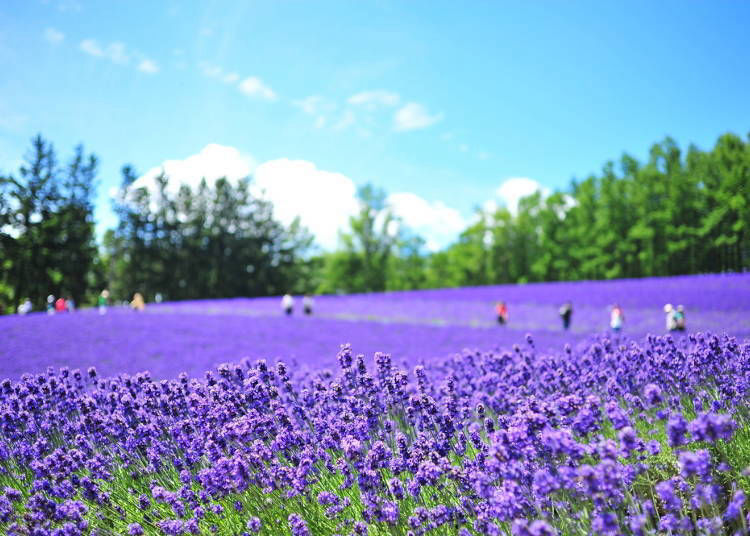 Plan your Sapporo to Furano Day Trip: Furano Lavender Fields and Biei Hill Drive