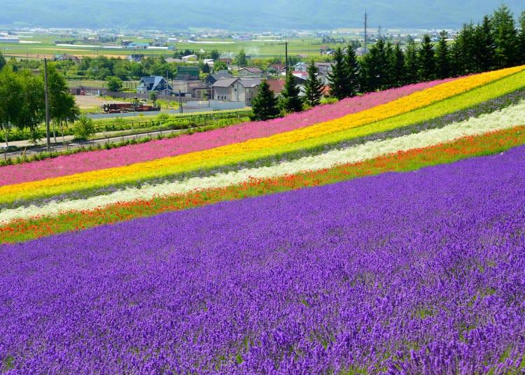 札幌到富良野美瑛行程②富田農場→Flower Land Kamifurano