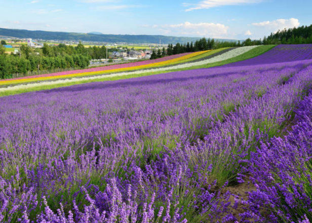 Sights, Food, Shopping! Quick Introduction to Japan's Scenic Furano and Biei Cities