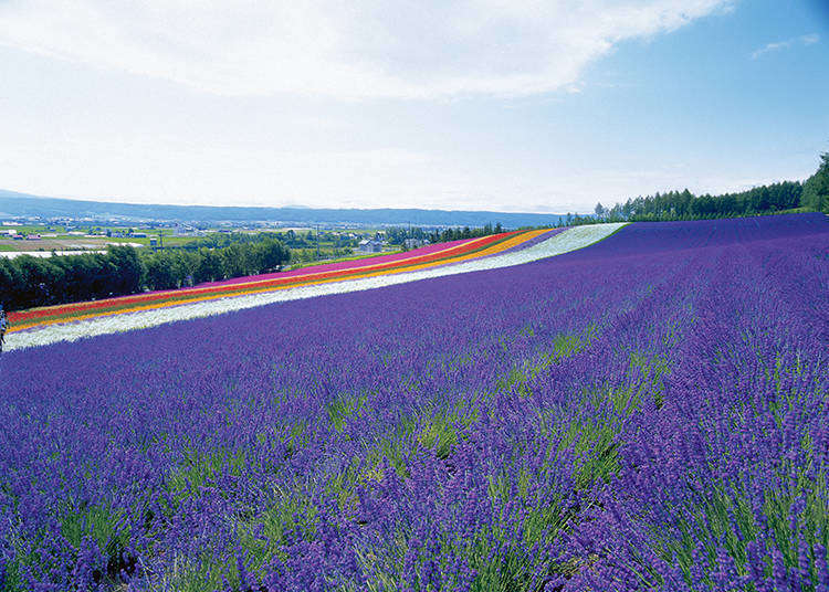 Hokkaido's Breathtaking Farm Tomita: The Lavender Fields You Must See At Least Once In Your Life!