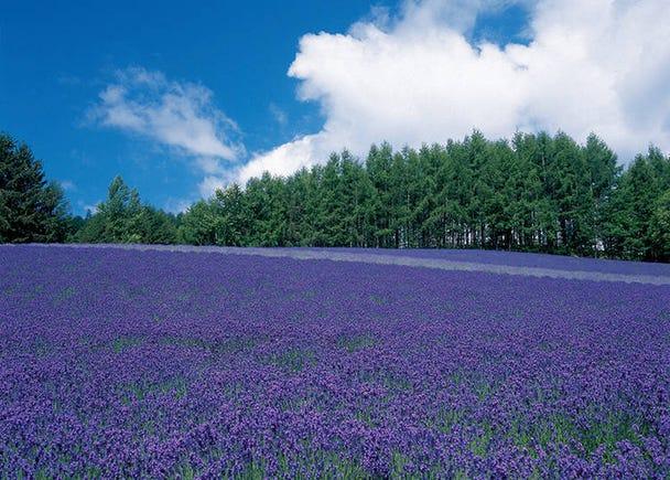Farm Tomita's Top 3 Lavender Fields