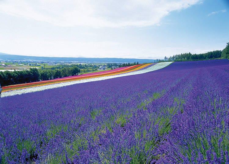 【ラベンダー以外の花畑 その2】緩やかな丘に広がる「彩りの畑」