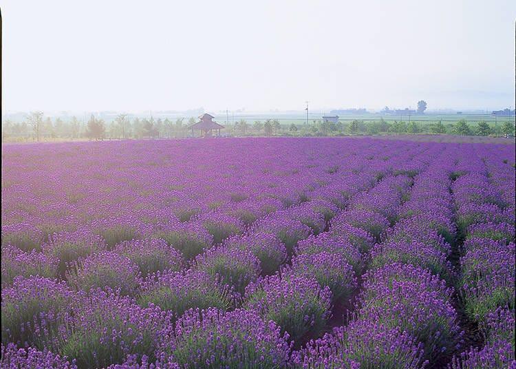 【세 번째】섬세한 그러데이션이 아름답다! 농장 중앙에 있는 [사키와이 밭]