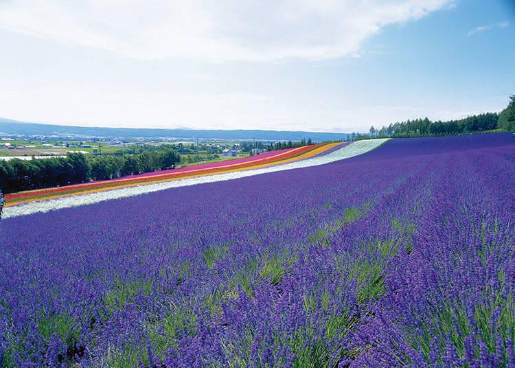 【라벤더 이외 꽃밭 두 번째】 완만한 언덕에 펼쳐지는 [이로도리 밭]