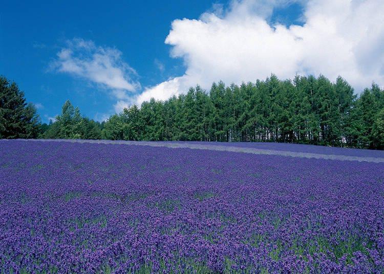 到富田农场的薰衣草花海散步吧! 【1】传统薰衣草花田(トラディショナルラベンダー畑)