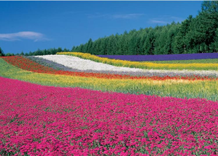 富田農場的花期及交通方式