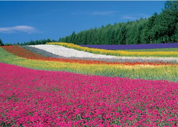 富田農場的最佳觀賞花期
